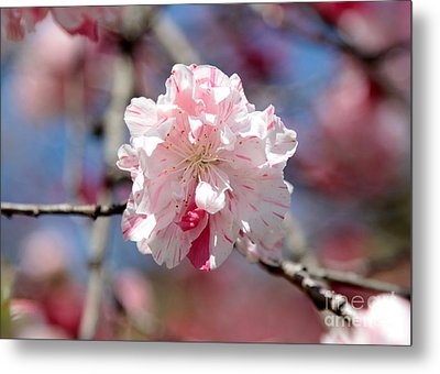 One Pink Blossom Metal Print by Carol Groenen
