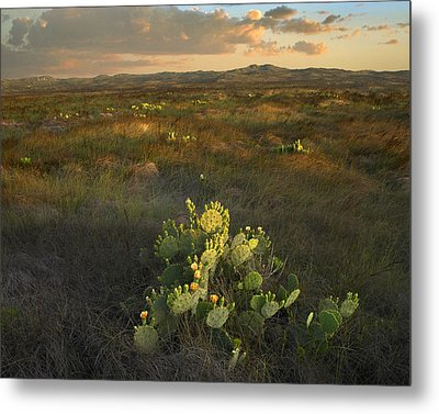 Opuntia Cacti Mustang Island State Park Metal Print by Tim Fitzharris