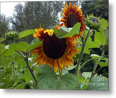 Orange Sunflowers Metal Print by Polly Anna