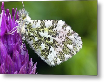 Orange Tip Metal Print by Dr Jeremy Burgess