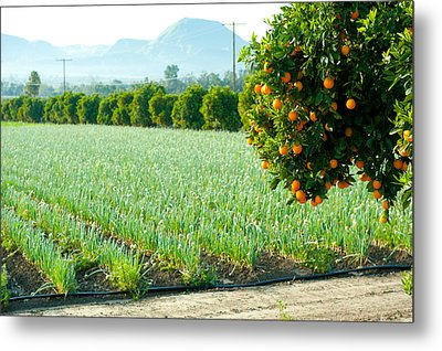 Oranges On A Tree With Onions Crop Metal Print by Panoramic Images