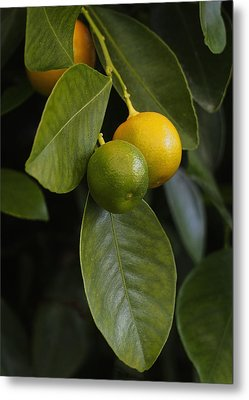 Oranges Ripening On The Tree Metal Print by Rona Black