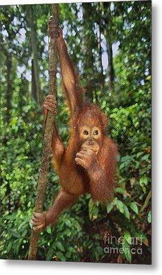 Orangutan  Metal Print by Frans Lanting MINT Images