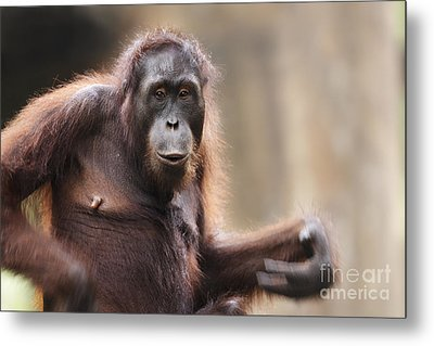 Orangutan Metal Print by Richard Garvey-Williams