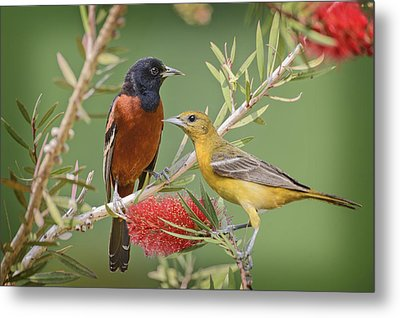 Orchard Oriole Pair Metal Print by Bonnie Barry