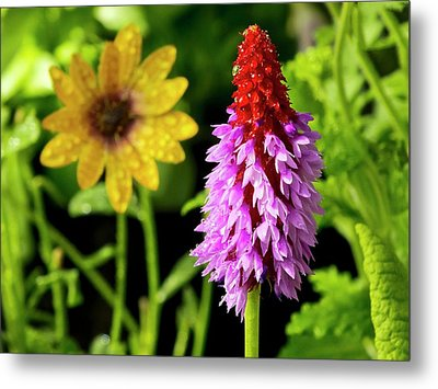 Orchid Primrose (primula Vialii) Flowers Metal Print by Ian Gowland