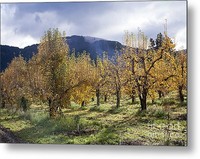 Oregon Orchard Metal Print by Peter French