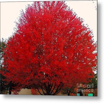Oregon Red Maple Beauty Metal Print by Kim Petitt