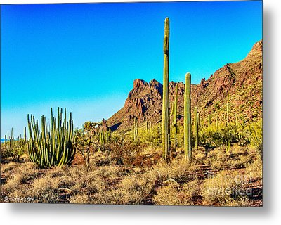 Organ Pipe Cactus National Monument Late Afternoon Metal Print by Bob and Nadine Johnston