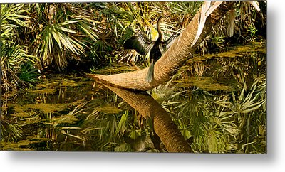 Oriental Darter Anhinga Melanogaster Metal Print by Panoramic Images