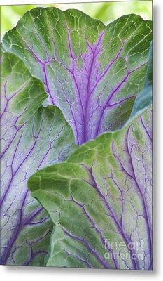 Ornamental Cabbage Leaves Metal Print by Tim Gainey
