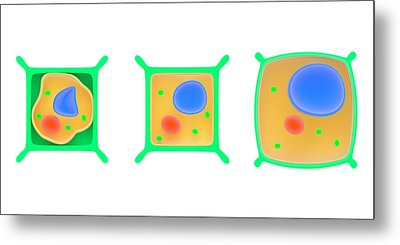 Osmosis In Plant Cells Metal Print by Science Photo Library