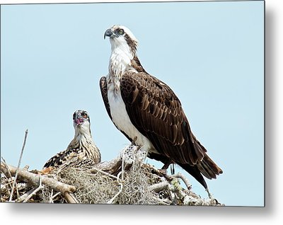 Osprey And Chick Metal Print by Bob Gibbons