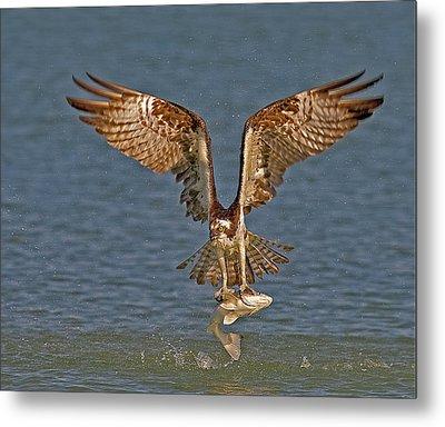 Osprey Morning Catch Metal Print by Susan Candelario