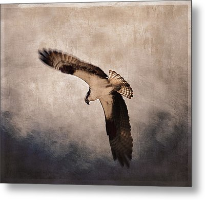 Osprey Over The Columbia River Metal Print by Carol Leigh