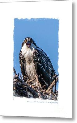 Osprey Surprise Party Card Metal Print by Edward Fielding