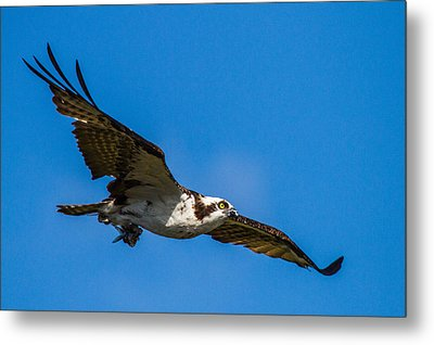 Osprey With Its Little Pray Metal Print by Andres Leon