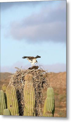 Ospreys Nesting In A Cactus Metal Print by Christopher Swann