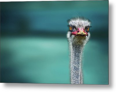 Ostrich Protecting Two Poor Chicken From The Wind Metal Print by Piet Flour