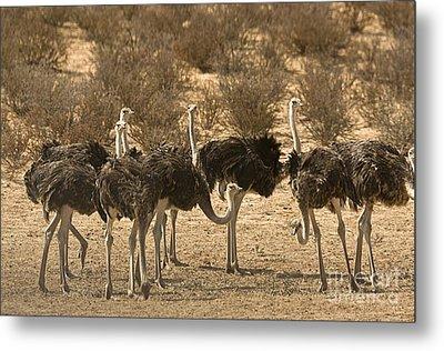 Ostriches Metal Print by Bob Gibbons