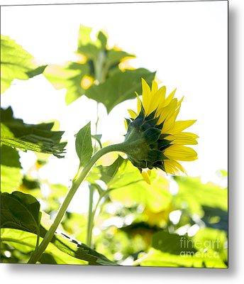 Overexposed Sunflower Metal Print by Bernard Jaubert