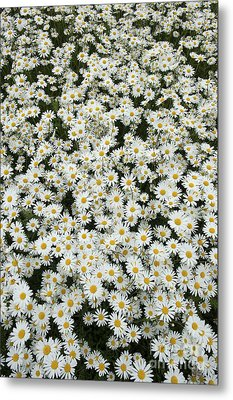 Oxeye Daises Metal Print by Tim Gainey