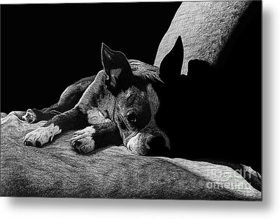 Ozzy The Boston Terrier Metal Print by Chris Trudeau