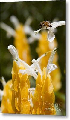 Pachystachys Lutea - Lollipop Plant - Golden Candle - Shrimp Plant Metal Print by Sharon Mau