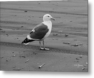 Pacific Seagull In Black And White Metal Print by Jeanette C Landstrom
