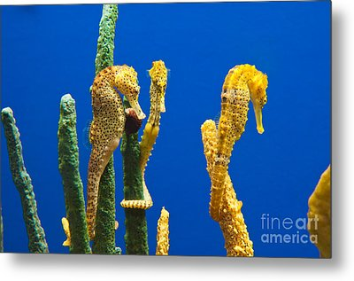 Pacific Seahorses Hippocampus Ingens Are Among The Giants Of Their World Metal Print by Jamie Pham