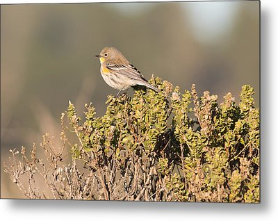 Pacific Sloped Flycatcher Metal Print by Natural Focal Point Photography
