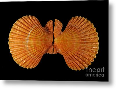 Painted Scallop Metal Print by Scott Camazine