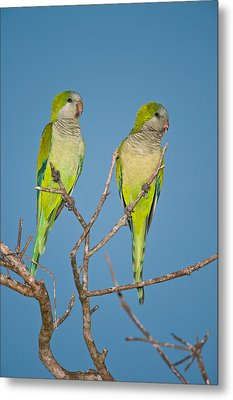 Pair Of Monk Parakeets Myiopsitta Metal Print by Panoramic Images