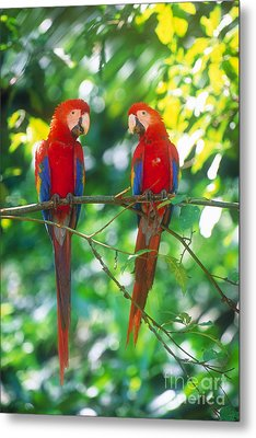 Pair Of Scarlet Macaws Metal Print by Art Wolfe