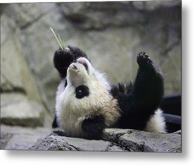 Panda Cub Metal Print by Jack Nevitt