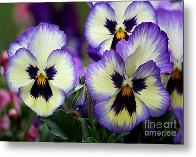 Pansy Faces Metal Print by Theresa Willingham