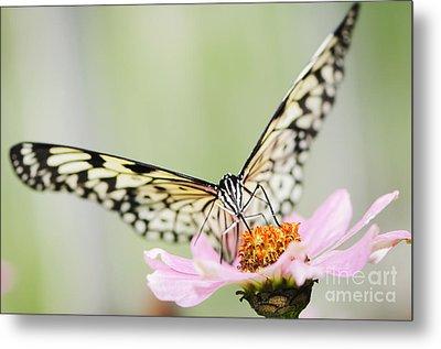 Paper Kite Butterfly On Zinnia Metal Print by Oscar Gutierrez