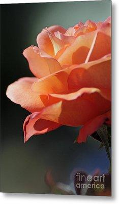 Partial Rose Metal Print by Chris Anderson