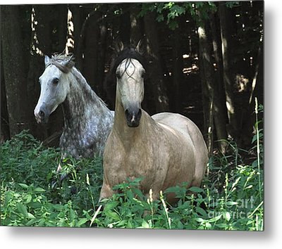 Paso Fino Mares Pay Attention Metal Print by Patricia Keller