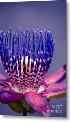 Passiflora Alata - Ruby Star - Ouvaca - Fragrant Granadilla -  Winged-stem Passion Flower Metal Print by Sharon Mau