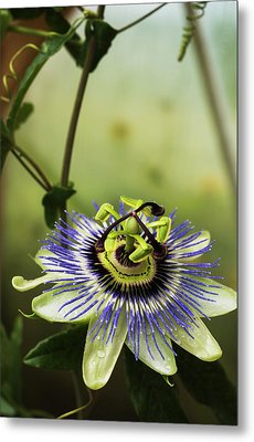 Passion Flower Blooms In A Greenhouse Metal Print by Robert L. Potts