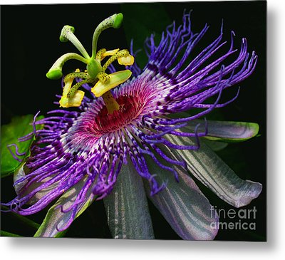 Passion Flower Metal Print by Douglas Stucky