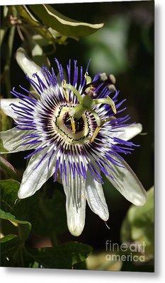 Passion-flower Metal Print by Joy Watson