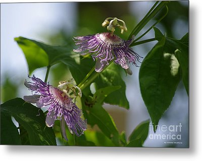 Passion Flowers Metal Print by Tannis  Baldwin