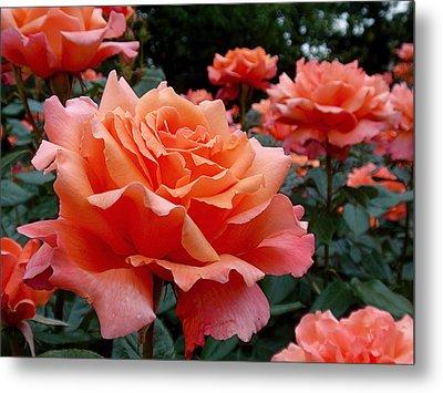 Peach Roses Metal Print by Rona Black