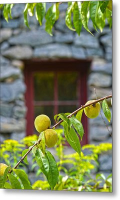 Peach Tree At The Old Mill Of Guilford Metal Print by Sandi OReilly