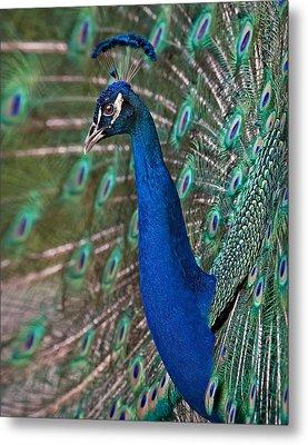 Peacock Display Metal Print by Susan Candelario