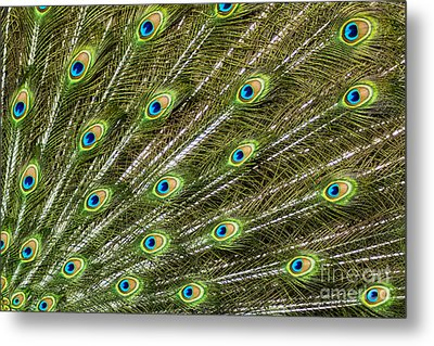 Peacock Feather Abstract Pattern Metal Print by Darleen Stry