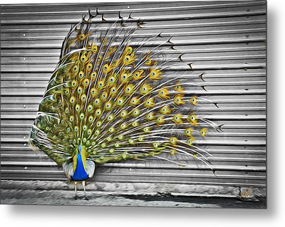Peacock Metal Print by Williams-Cairns Photography LLC