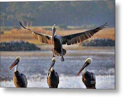 Pelican Coming In For Landing Metal Print by Dan Friend